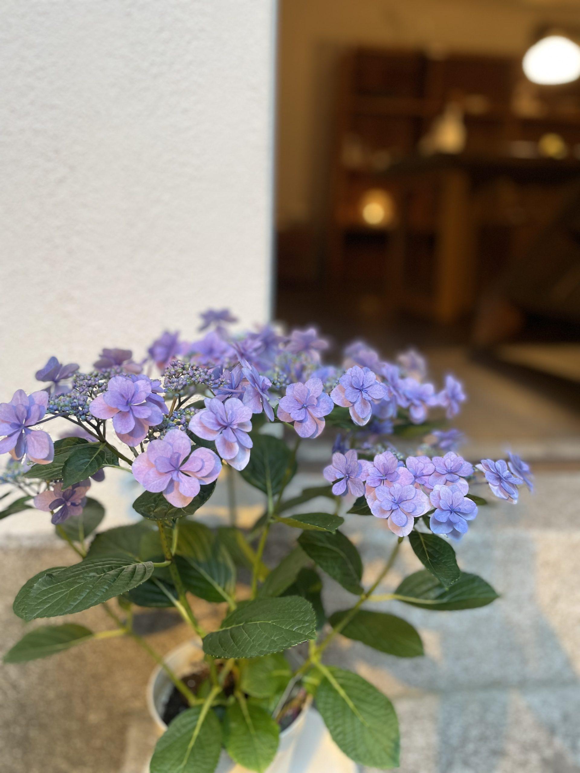 <p>梅雨の季節が近づいて来ましたね☔️ 今週、来週と雨が続きそうですね💦 kaicocafeの中庭に咲く紫陽花。 もう少しで満開になるのでしょうか☺️ 大切に育てたいです✨</p>